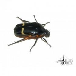 Pedinorrhina septa septa X 1 larve L1/2