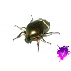 Plaesiorrhinella watkinsiana X 1 larve L1/2