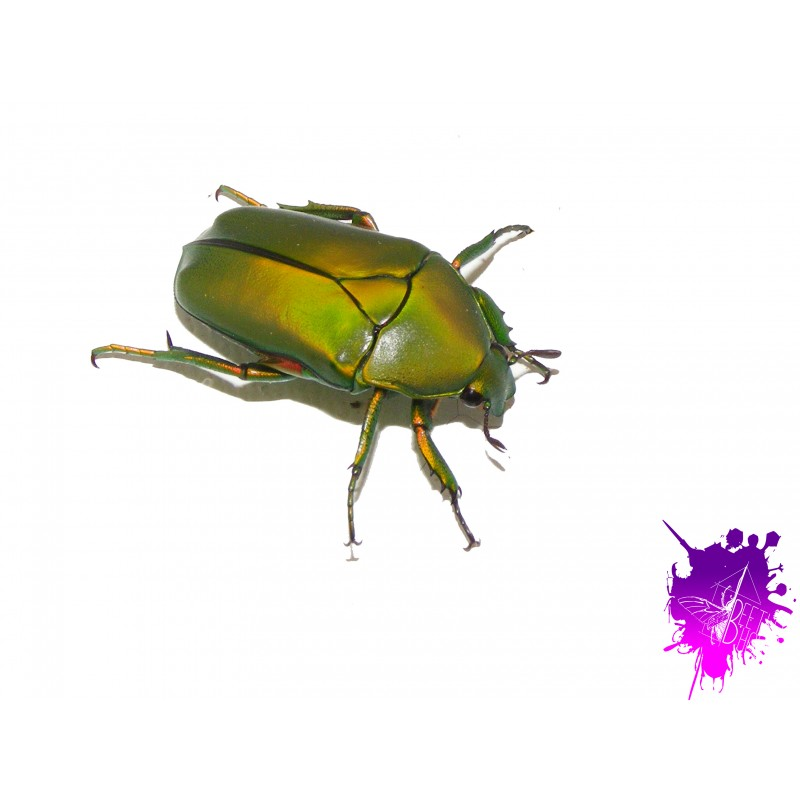 Eccoptocnemis kolbei X 1 larve L1/2