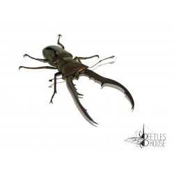 Cyclommatus metallifer finae X 1 larve L1/12