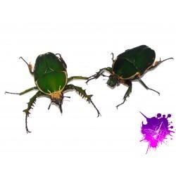 Mecynorrhina torquata immaculicollis X 1 couple adulte