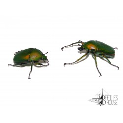 Dicronorrhina micans X 1 couple adulte