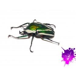 Dicronorhina derbyana derbyana X 1 larve L2/3