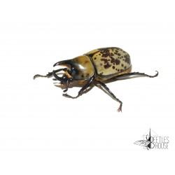 Dynastes tityus X 1 larve L2/3