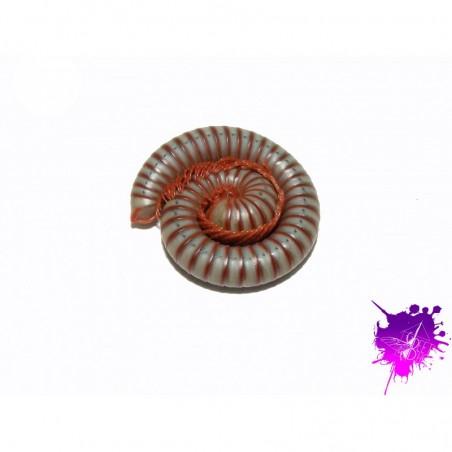 Tonkinbolus caudulanus X 1 jeune/moyen