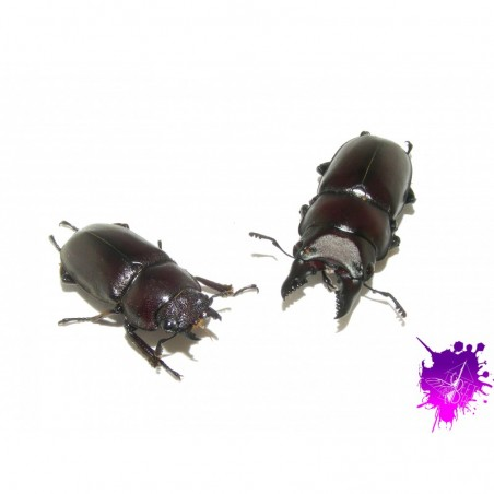 Prosopocoilus ssp ( senegalensis ?? ) X 1 couple adulte