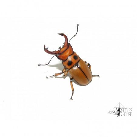Homoderus gladiator X 1 larve L2/3