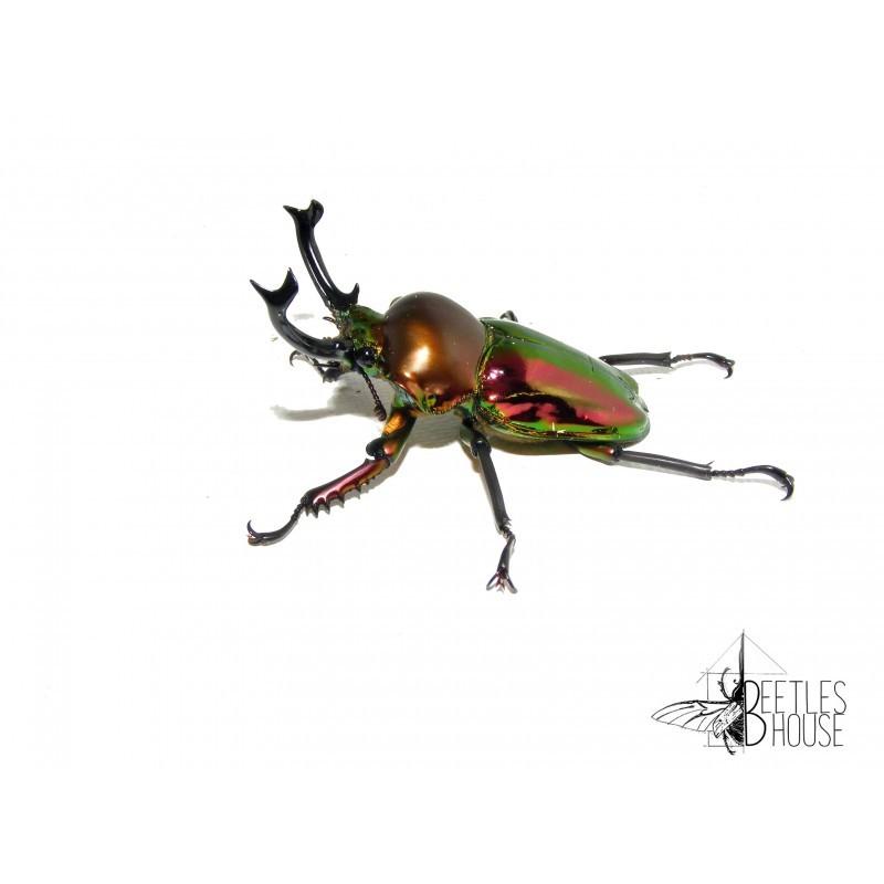 Phalacrognathus muelleri colormix X 1 larve L2/3