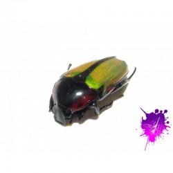 Chlorocola conjux X 1 larve L1/2